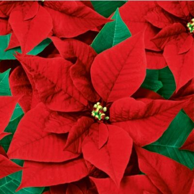 Red Poinsettia Luncheon Napkins